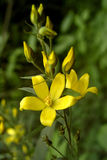Poca flor amarilla Imagen de archivo libre de regalías