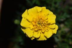 Poca flor amarilla Imagen de archivo
