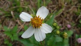 Poca flor blanca Imagen de archivo libre de regalías
