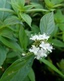 Poca flor blanca Fotografía de archivo