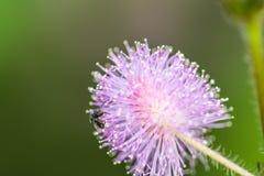 poca flor de la planta sensible del beeon Foto de archivo