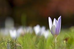 Poca flor púrpura Fotos de archivo libres de regalías
