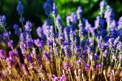 Poca flor púrpura poca flor del verano Imagen de archivo