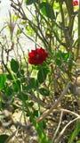Poca flor roja fotografía de archivo libre de regalías