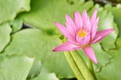 Poca flor rosada Verdes jugosos brillantes Imágenes de archivo libres de regalías