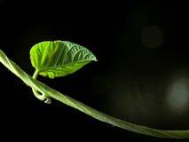 Poca foglia verde Immagini Stock
