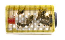 poca jaula con la reina de la abeja Foto de archivo libre de regalías