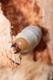 Poca larva dello scarabeo di maschio fotografia stock libera da diritti