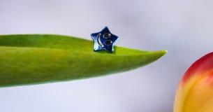 poca macro della molla del tulipano del fiore della stella sveglia fotografia stock libera da diritti