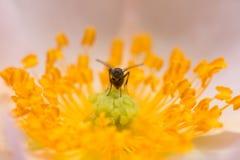 Poca mosca en una flor Macro Imagen de archivo libre de regalías