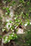 Poca pajarera en hojas del abedul de la primavera Foto de archivo libre de regalías