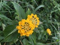 Poca palla gialla del fiore Fotografia Stock