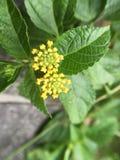 Poca palla gialla del fiore Fotografie Stock Libere da Diritti