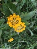 Poca palla gialla del fiore Immagine Stock