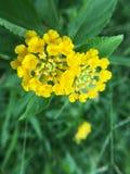 Poca palla gialla del fiore Fotografie Stock