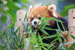 Poca panda Foto de archivo