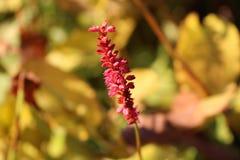 Poca pianta rossa Fotografia Stock