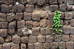 Poca pianta si sviluppa sulla parete vulcanica della pietra pomice Immagine Stock