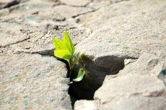 Poca pianta verde dalle pietre grige Fotografia Stock Libera da Diritti