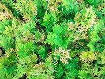 Poca planta del helecho Foto de archivo