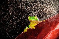 Poca rana de árbol que se sienta en la hoja roja en lluvia Fotos de archivo libres de regalías