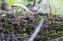 Poca rana del bosque que se sienta debajo de una hoja del coltsfoot Ella es ver Foto de archivo