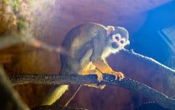 Poca scimmia scoiattolo, blu immagine stock