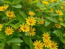 Poca stella di giallo fiorisce sul fondo delle foglie di verde Fotografia Stock