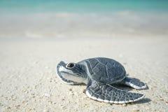 Poca tartaruga di mare sulla spiaggia sabbiosa Fotografie Stock Libere da Diritti