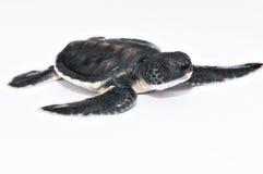 Poca tortuga de mar fotografía de archivo libre de regalías