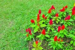 Pocas de flores rojas en hierba verde Fotos de archivo