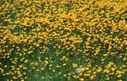 pocas floraciones de la flor del amarillo Fotografía de archivo