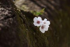 Pocas flores de Sakura Fotos de archivo libres de regalías