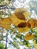 pocas hojas del amarillo Imágenes de archivo libres de regalías
