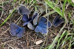 Pocas mariposas azules fotografía de archivo libre de regalías