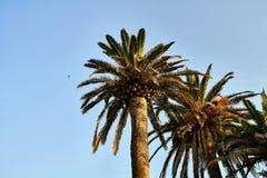 Pocas palmeras con las hojas verde-marrones en fondo soleado del cielo imagenes de archivo