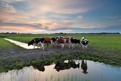 Pocas vacas por el río en la puesta del sol Fotografía de archivo
