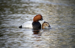Pochard, Aythya ferina Royalty Free Stock Images