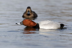 Pochard, Aythya ferina Stock Images