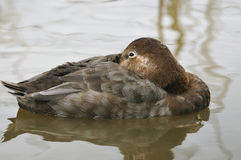 Pochard duck Stock Photos