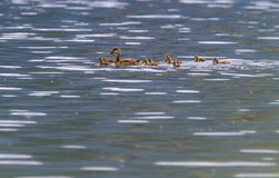 Pochard duck, anas platyrhynchos, and babies. Pochard duck, anas platyrhynchos, floating on waterlake surrounded with its baby ducklings Royalty Free Stock Photo
