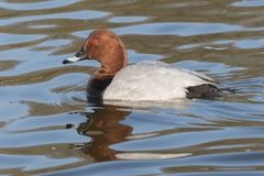 A pochard duck on the Cemetery Lake, Southampton Common. A pochard duck on the Cemetery Lake on Southampton Common royalty free stock images