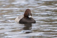 Pochard duck on Southampton Common royalty free stock photography
