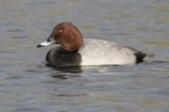 Pochard duck on Southampton Common stock photography