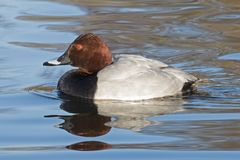 A pochard  duck on the Cemetery Lake,  Southampton Common Royalty Free Stock Image