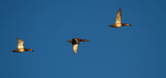 Pochard ducks flying Stock Photography
