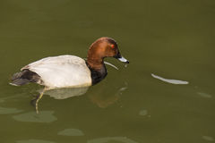 Pochard Royalty Free Stock Photo