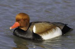 Pochard or Piston duck Royalty Free Stock Image