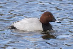 A pochard swimming on the Cemetery Lake Stock Photo