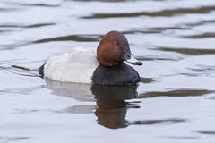 A pochard swimming on the Cemetery Lake Stock Images